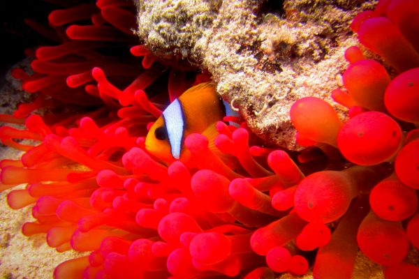 Scuba 2000 - clown fish and red anemone in Dahab, Egypt